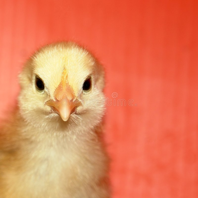 Schätzchen-Huhn stockfoto