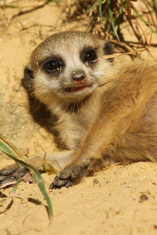 Schätzchen meerkat, das aus den Grund legt lizenzfreie stockfotos