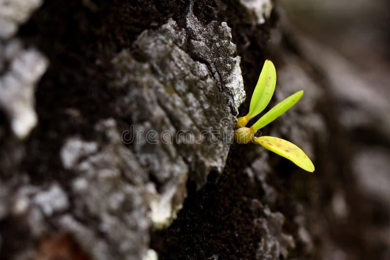 Schätzchen-Orchidee stockfotografie