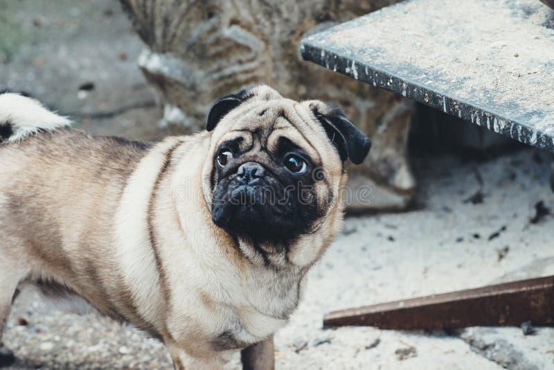 Schätzchen Pug Verfolgen Sie Pug Schließen Sie herauf Gesicht eines sehr netten Pug stockbild