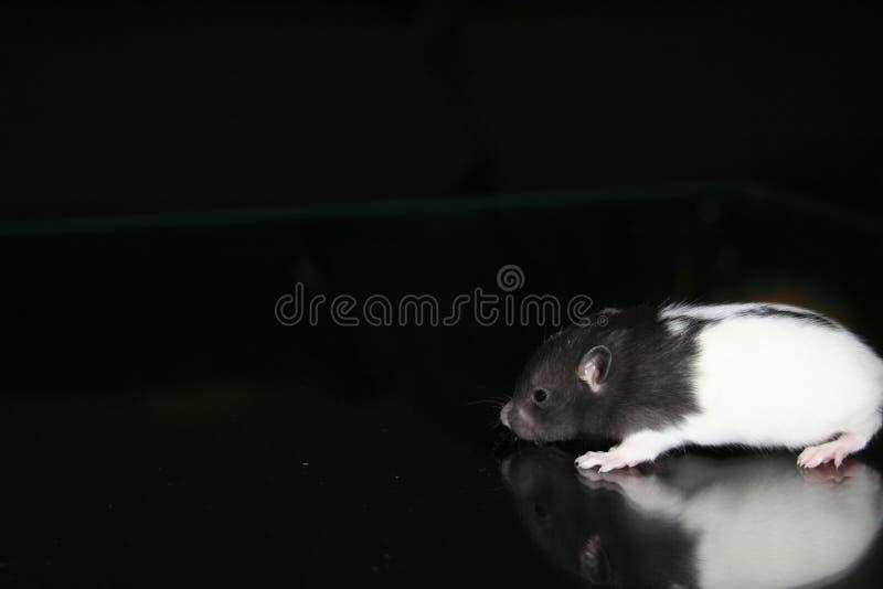 Schätzchen-Ratte lizenzfreie stockfotografie