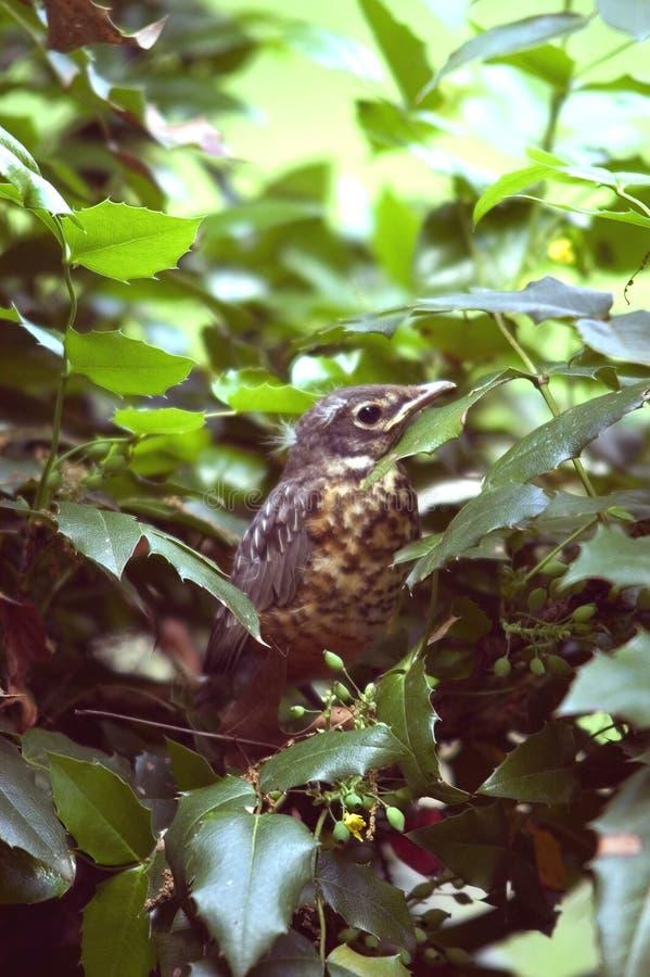 Schätzchen Robin Stockbilder