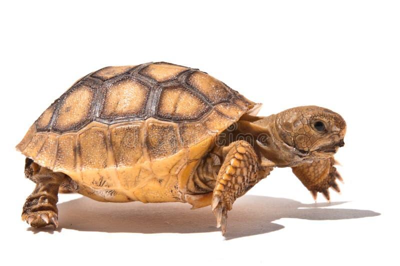 Schätzchen-Schildkröte lizenzfreies stockfoto