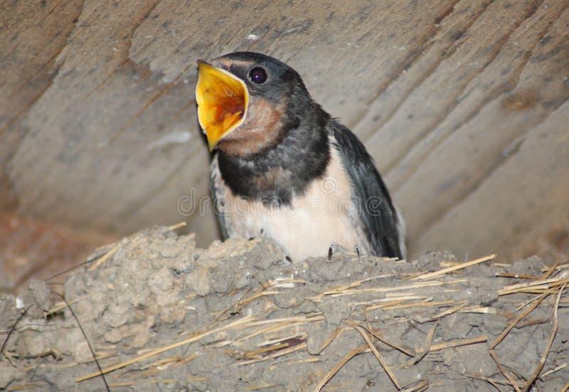 Schätzchen-Schwalbe, die wartet gespeist zu werden lizenzfreies stockbild