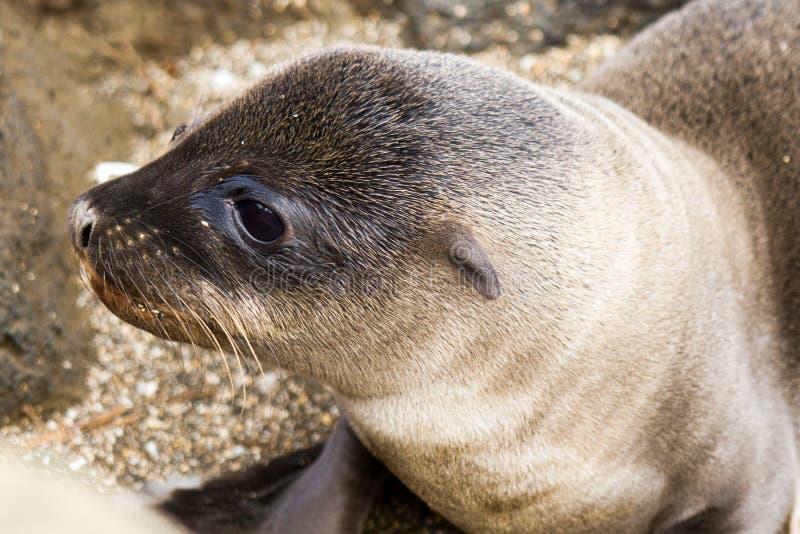 Schätzchen-Seelöwe-Nahaufnahme lizenzfreie stockfotografie