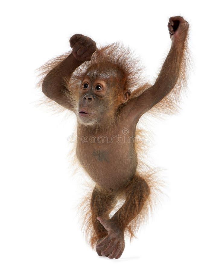 Schätzchen Sumatran Orang-Utan gegen weißen Hintergrund lizenzfreies stockbild
