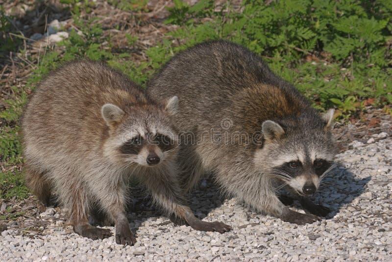 Schätzchen-Waschbären stockfotos