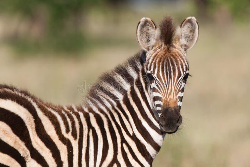 Schätzchen Zebra lizenzfreie stockbilder