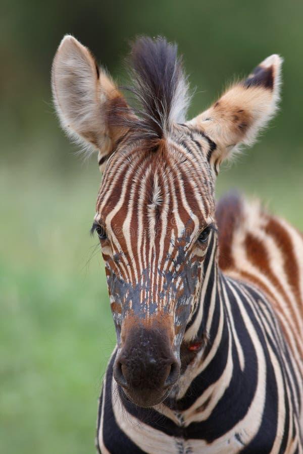 Schätzchen Zebra lizenzfreie stockfotos