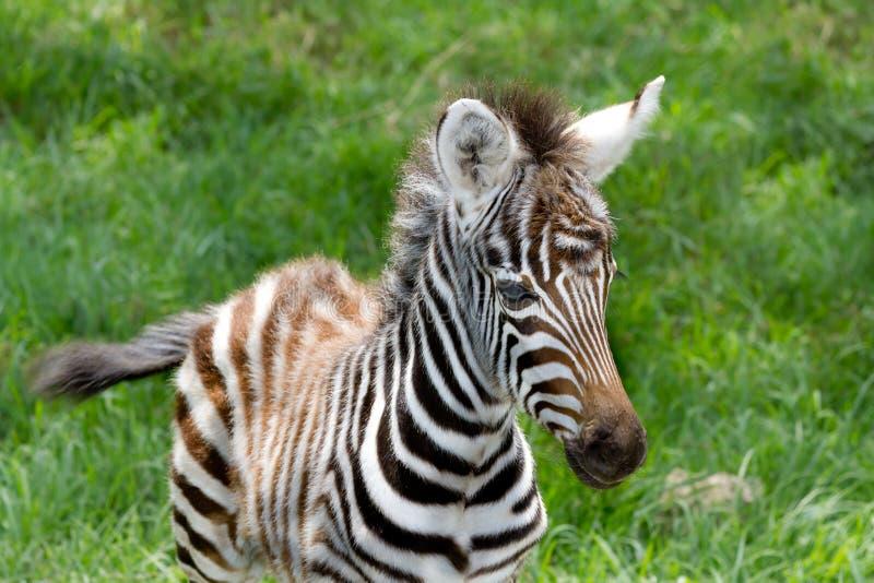 Schätzchen Zebra See nakuru an der nationalen Reserve lizenzfreie stockfotos