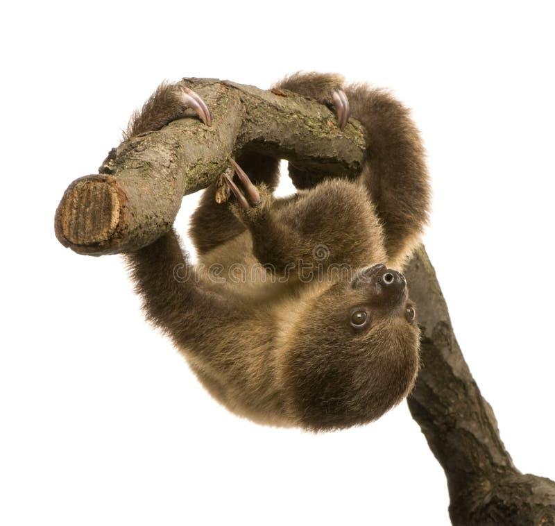 Schätzchen Zwei-toed Trägheit (4 Monate) - der didacty Choloepus stockfotos