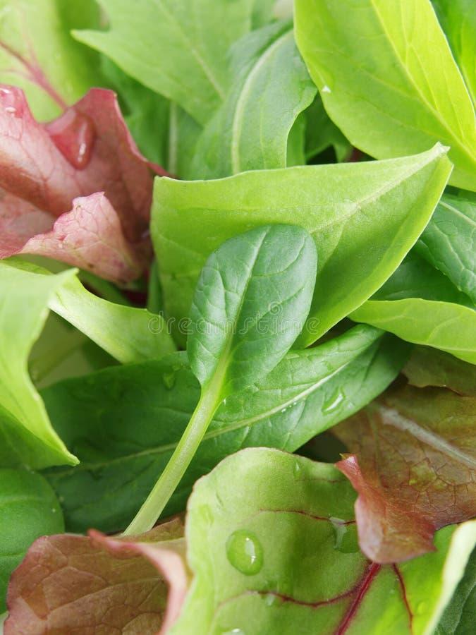 Schätzchenblattsalat stockfotos