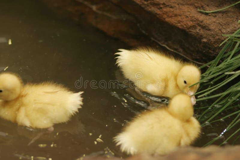 Schätzchenenten in einem Teich lizenzfreie stockfotos