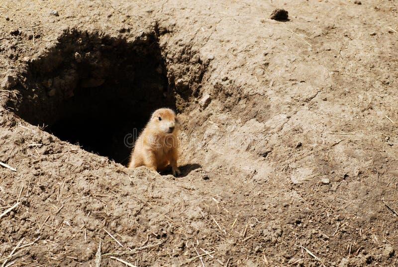 Schätzchengraslandhund durch seine Höhle lizenzfreies stockbild