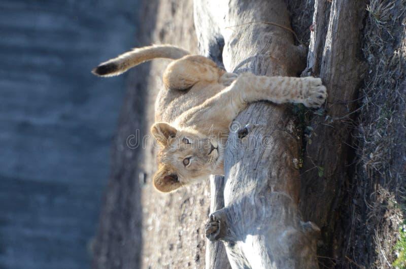 Schätzchenlöwe auf einem Protokoll stockbild