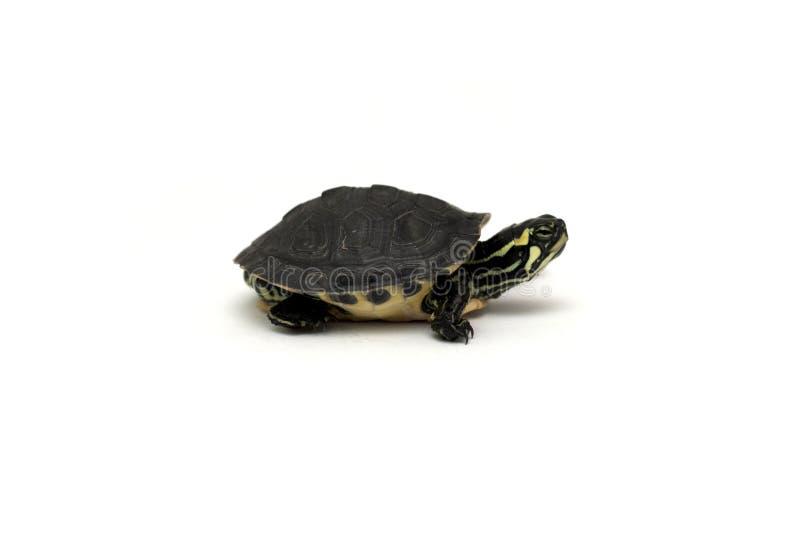 Schätzchenschildkröte stockbilder