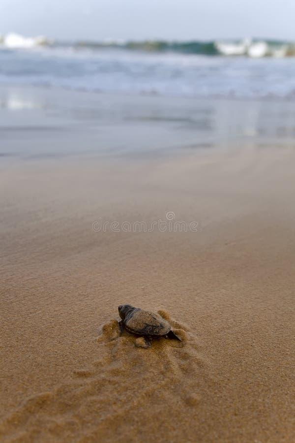 Schätzchenschildkröten lizenzfreies stockfoto