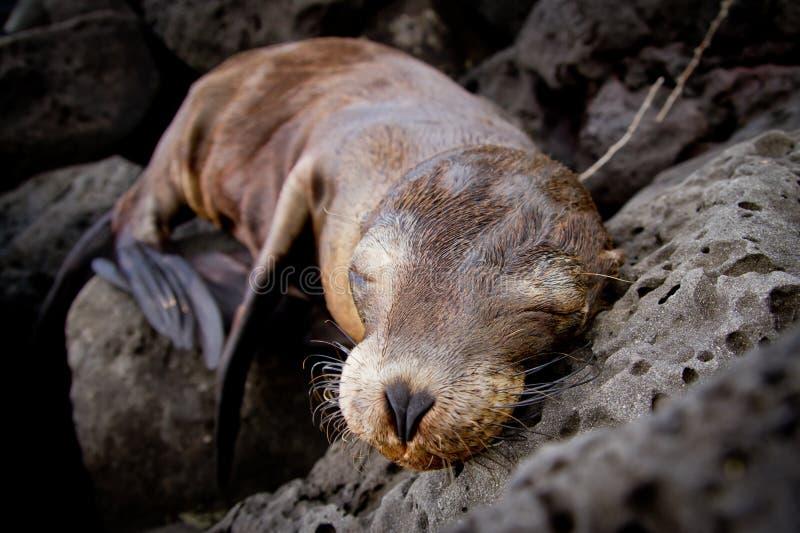 Schätzchenseelöwe, der in den Galapagos-Inseln schläft lizenzfreie stockbilder