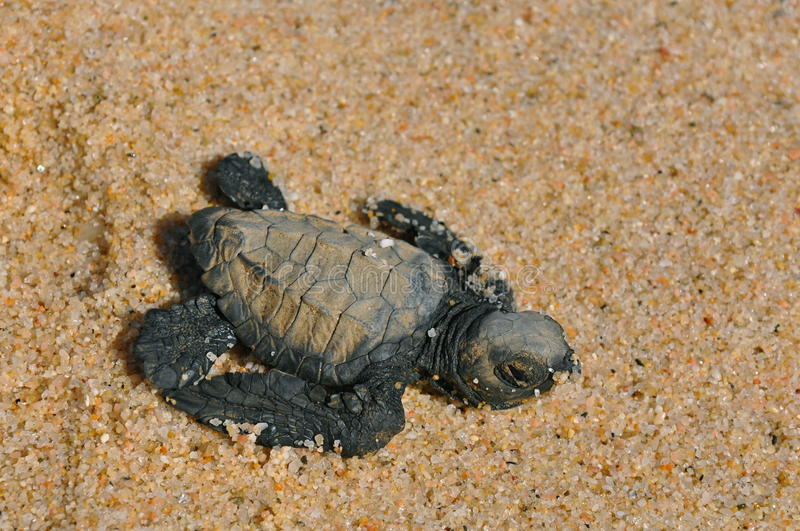 Schätzchenseeschildkröte lizenzfreie stockfotografie