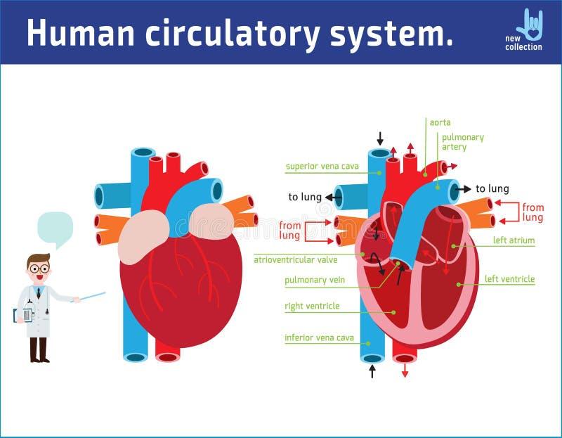 Sch?ma de l'anatomie de coeur conception plate de bande dessin?e d'ic?ne d'illustration de vecteur illustration libre de droits