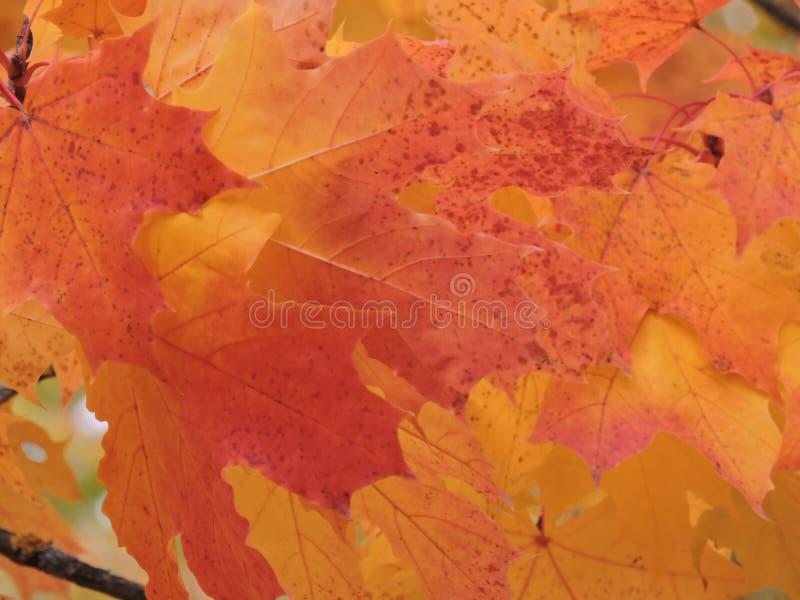 Schéma lumineux des feuilles d'érable rouge en octobre photo stock