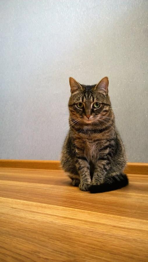 Schön elegante sitzende Katze Betrachtet schuldbewusst der Kamera lizenzfreie stockbilder