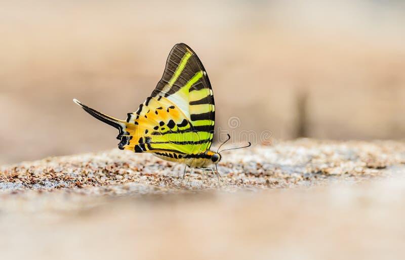 Schön essen der Schmetterling Fivebar Swordtail Mineral in der Natur lizenzfreies stockfoto