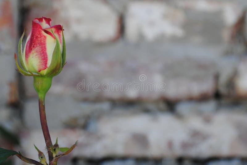 Schön stieg auf eine Backsteinmauer lizenzfreies stockfoto