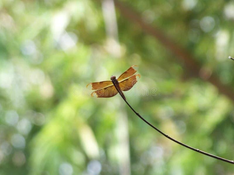 Schön von der Libelle stockfotografie