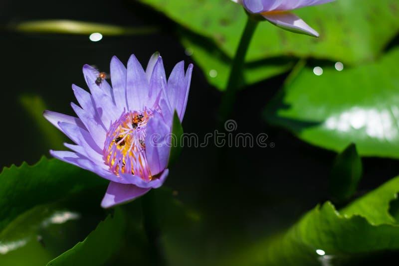 Schön waterlily oder Lotosblume im Teich stockfoto