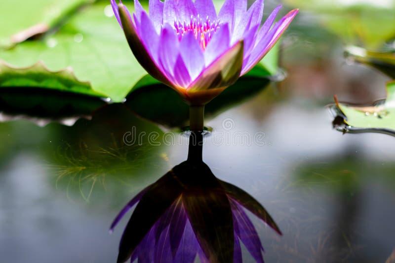 Schön waterlily oder Lotosblume im Teich stockfotografie