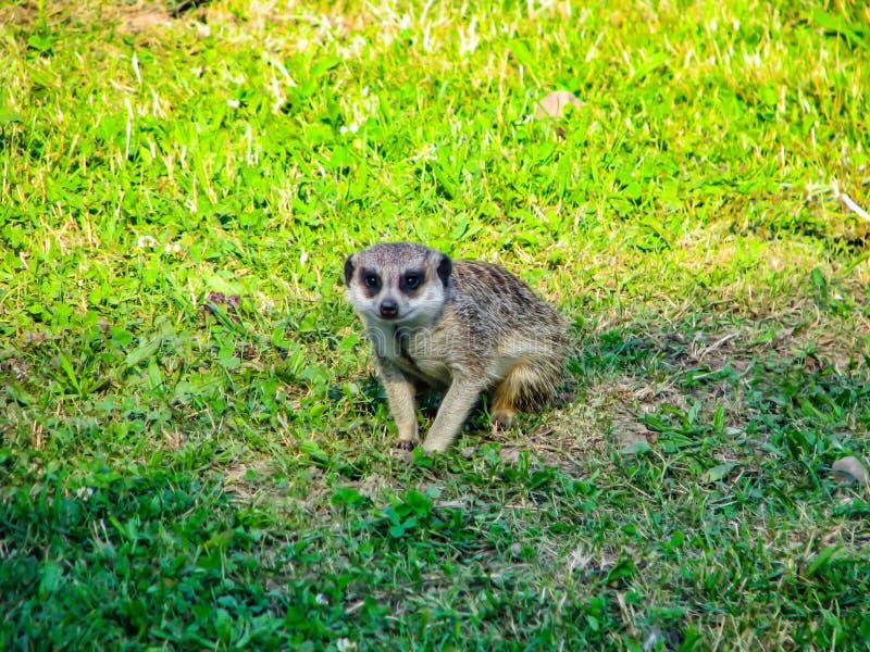 Sch?n wenig meerkat auf dem Grasaufpassen lizenzfreie stockfotos