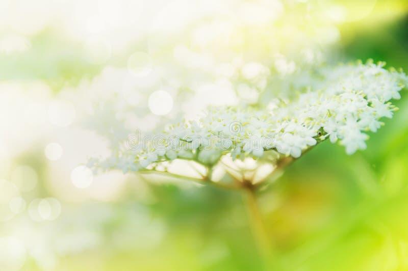 Schöne Ältestblüte im Garten oder in Park, im Freien lizenzfreie stockfotos