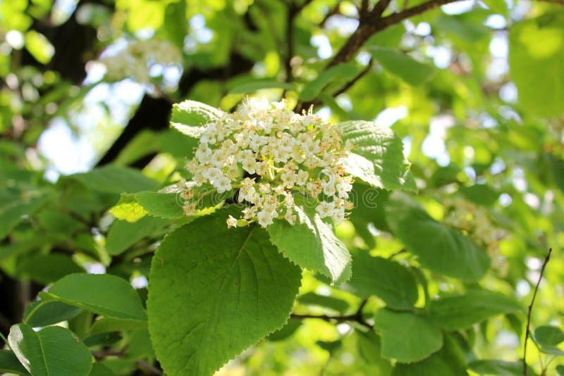 Schöne Ältestblumen stockbilder