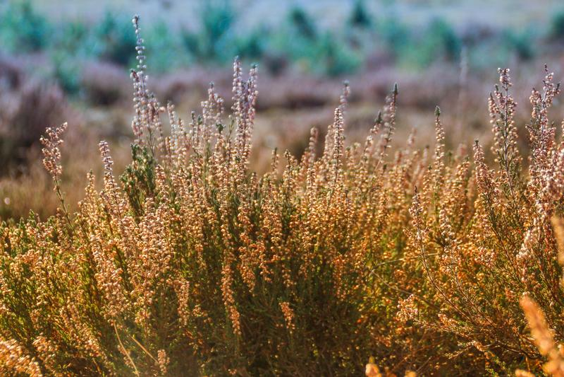 Schöne üppige Dickichte der Heideblüte im belgischen Wald gegen den Hintergrund der hellen sonnigen Natur stockfoto