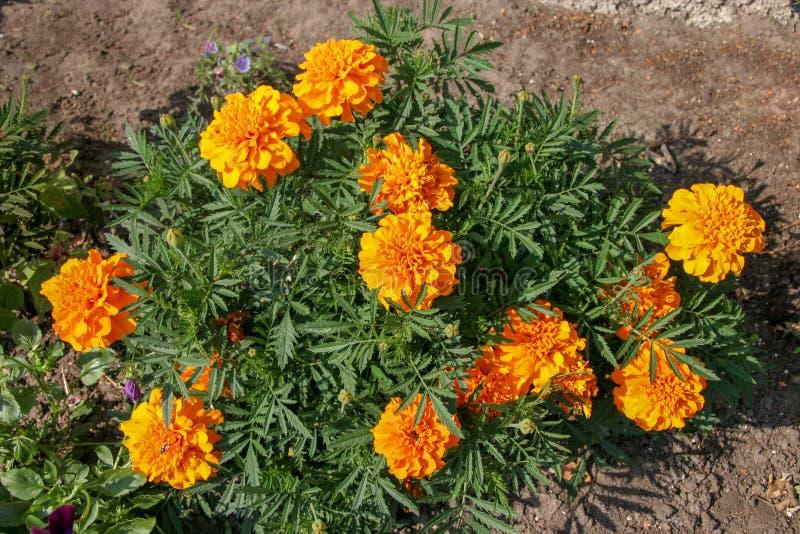 Schöne üppige gelb-orangee Blumen sehen wie Astern auf einem grünen Busch aus stockfotografie