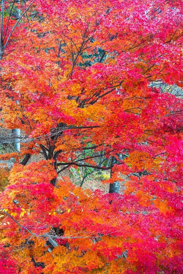 Schöne Ahornblätter der Nahaufnahme in der Herbstsaison lizenzfreie stockfotos