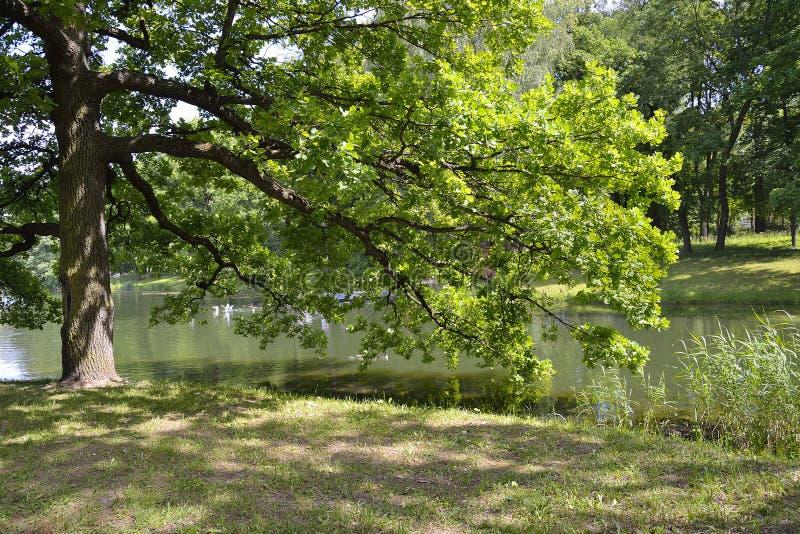 Schöne alte Eiche nahe See mit den Enten und Möven, die im Wasser schwimmen stockbild