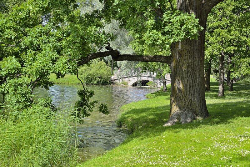 Schöne alte Eiche nahe See mit Enten - malerische Sommerlandschaft stockbilder