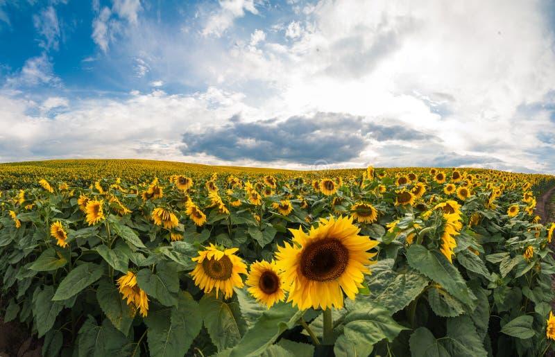 Schöne Ansicht über Sonnenblumenfeld mit Himmel lizenzfreies stockbild
