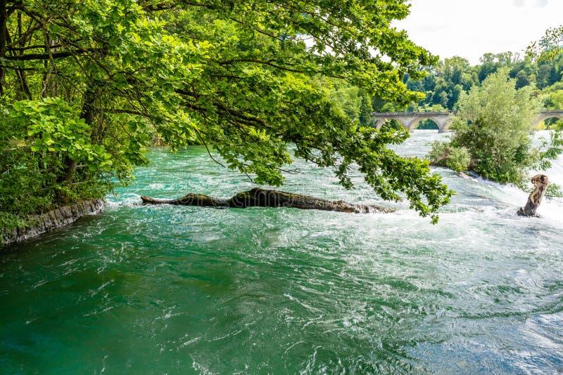 Schöne Ansicht des Rheins im Türkis, an der Quelle in der Schweiz, gerade hinter dem größten Wasserfall in Europa lizenzfreies stockbild