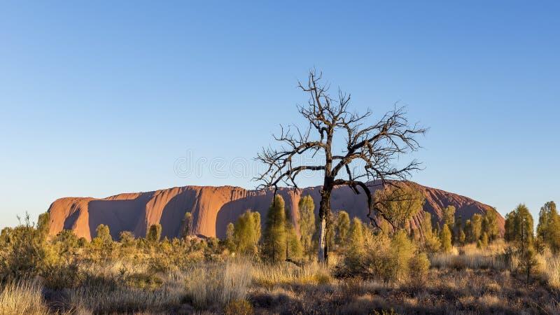 Schöne Ansicht des Uluru-Monolithen, Ayers-Felsen, an der Dämmerung, Australien mit einem trockenen Baum im Vordergrund lizenzfreie stockbilder