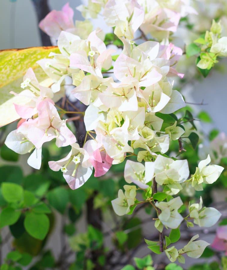 Schöne Ansicht des weißen Farbebouganvillas blüht dornige dekorative Reben, Büsche und Bäume mit Blume ähnlichen Federblättern stockfotografie