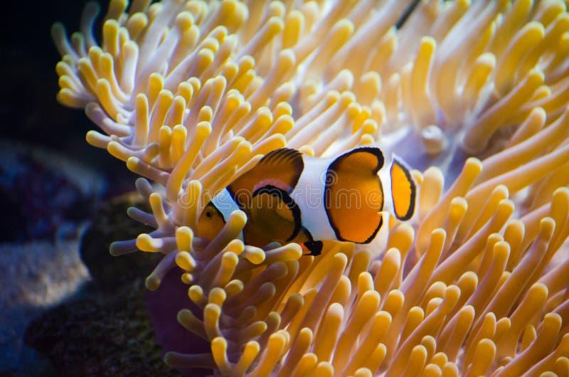 Schöne Aquariumfische, die in Wasser gegen den Hintergrund schwimmen lizenzfreie stockfotos