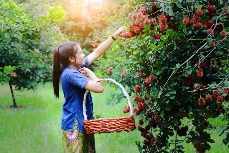 Schöne asiatische Rambutanfrucht Sammeln des jungen Mädchens lizenzfreie stockfotografie