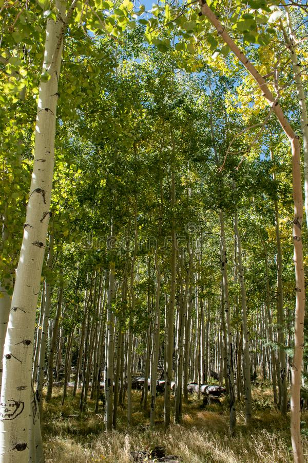 Schöne Aspen-Bäume im Frühfall lizenzfreie stockfotografie