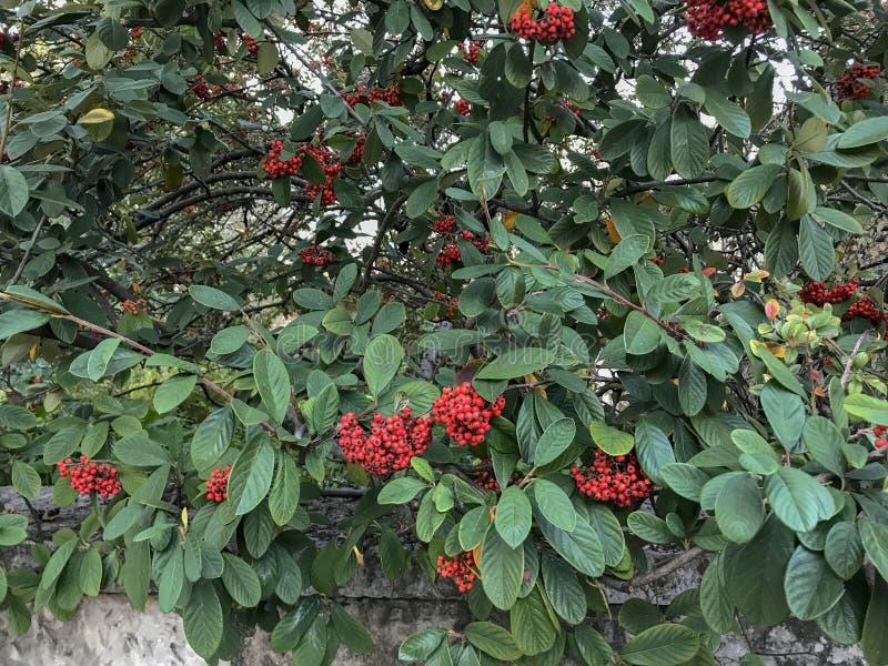 Schöne Büsche mit roten Beeren und verschiedenen tropischen Regenwaldlaubanlagen auf Waldhintergrund stockbilder