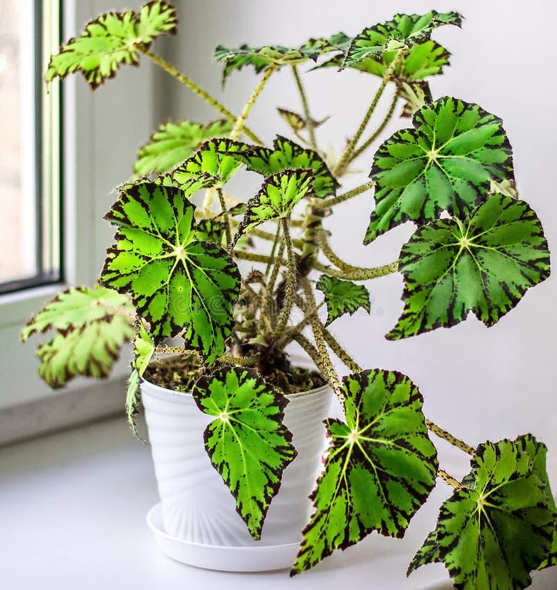 Schöne Begonie im weißen Blumentopf auf Fensterbrett Klasse von beständigen Blütenpflanzen im Familie Begoniaceae stockbild