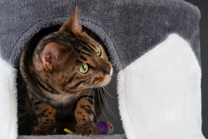 schöne Bengal-Katze spielt auf dem verkratzenden Posten stockfotos