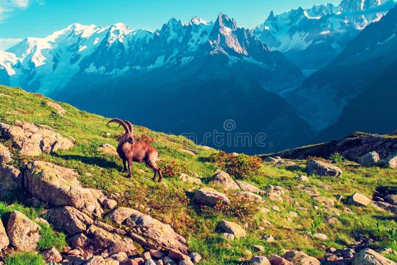 Schöne Berglandschaft mit Bergziege in den französischen Alpen nahe dem Lac Blanc Massif vor der Kulisse des Mont Blanc lizenzfreies stockfoto